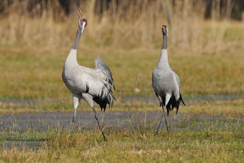 Download Common crane stock image. Image of kingdom, complete - 29677993