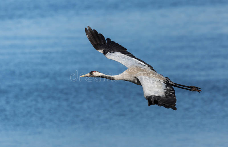 Common crane flying above a lake. Common crane flying above a sunny lake stock image