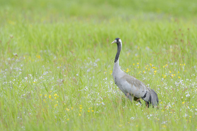 Common crane in grass royalty free stock photography