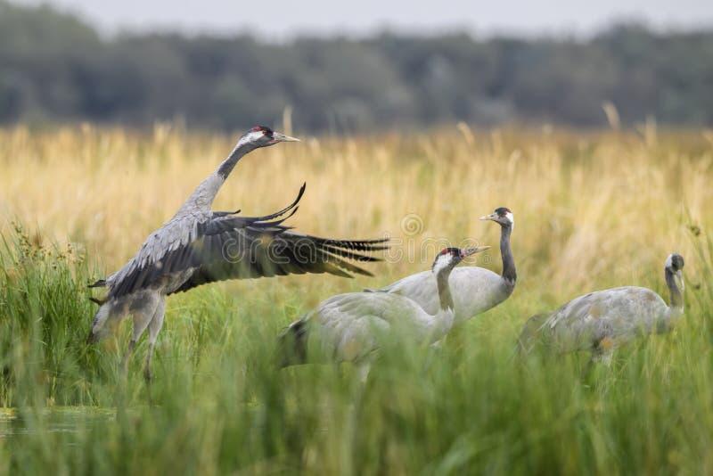 Common Crane - Grus grus. Beautiful large bird from Euroasian fields and meadows, Hortobagy National Park, Hungary royalty free stock image