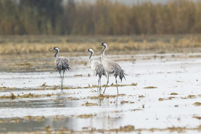 Common crane [Grus grus]. Family together royalty free stock images