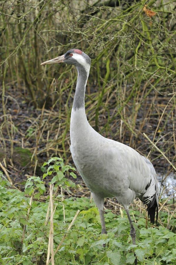 Common Crane - Grus grus. Common Crane in tall vegetation - Grus grus royalty free stock photography
