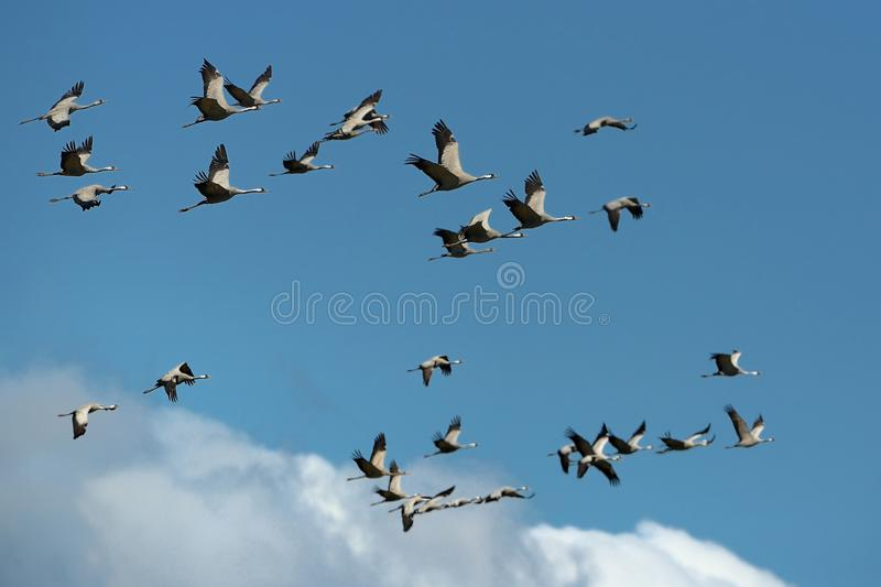 Common Crane - Grus grus. Flock of the cranes flying on the blue sky royalty free stock photography
