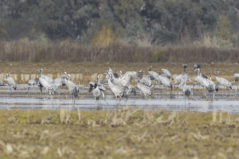 Common crane [Grus grus] at the meadows of Extremadura. / Spain stock photos