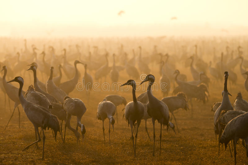 Download Common cranes stock photo. Image of flight, long, asia - 23595686
