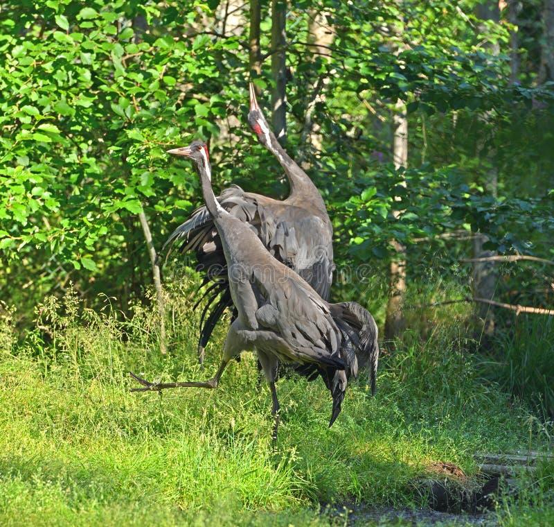 Common Cranes Grus grus, also known as Eurasian cranes, family Gruidae. Dancing birds. Finland royalty free stock photography