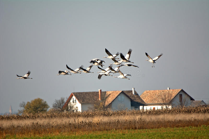 Common cranes (Grus grus). Over the Hungarian plain stock photography