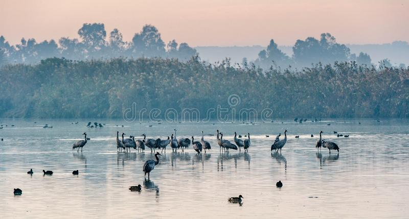 Common cranes (Grus grus) standing in the water. Cranes Flock on the Lake at Sunrise. Fog in the early morning. Morning Landscape royalty free stock photos