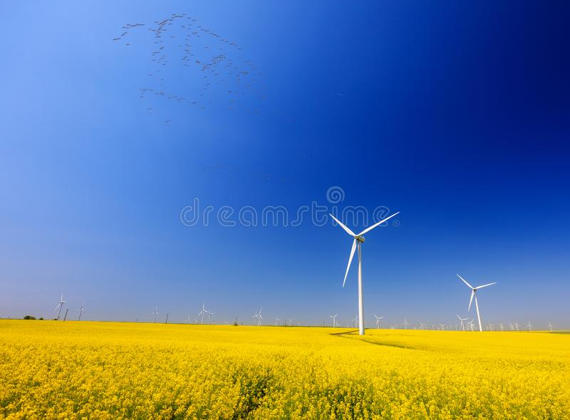 Common cranes on the sky. Rapeseed flowers and the background wind turbines. Spring landscape with blue sky, yellow expanse with rapeseed flowers and the royalty free stock images