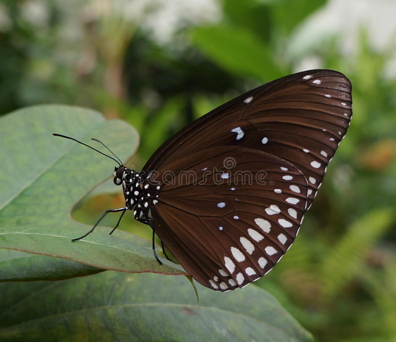 Common Crow butterfly royalty free stock photo