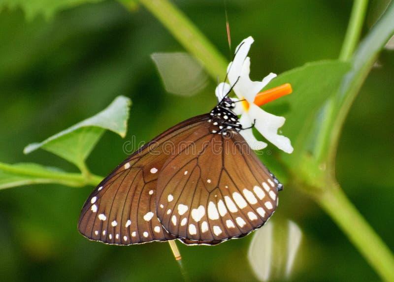 Common Crow Butterfly. Euploea core. Euploea core, the common crow, is a common butterfly. Common crow is a slow, steady flier royalty free stock photo