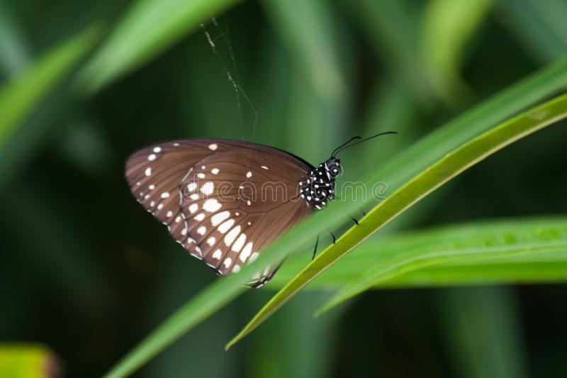 Common crow butterfly on green grass during indian monsoon royalty free stock images