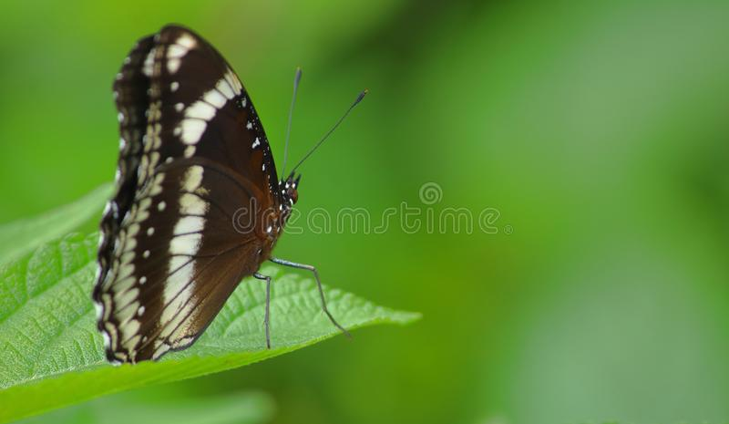 Common crow butterfly, insects, nature. stock photo
