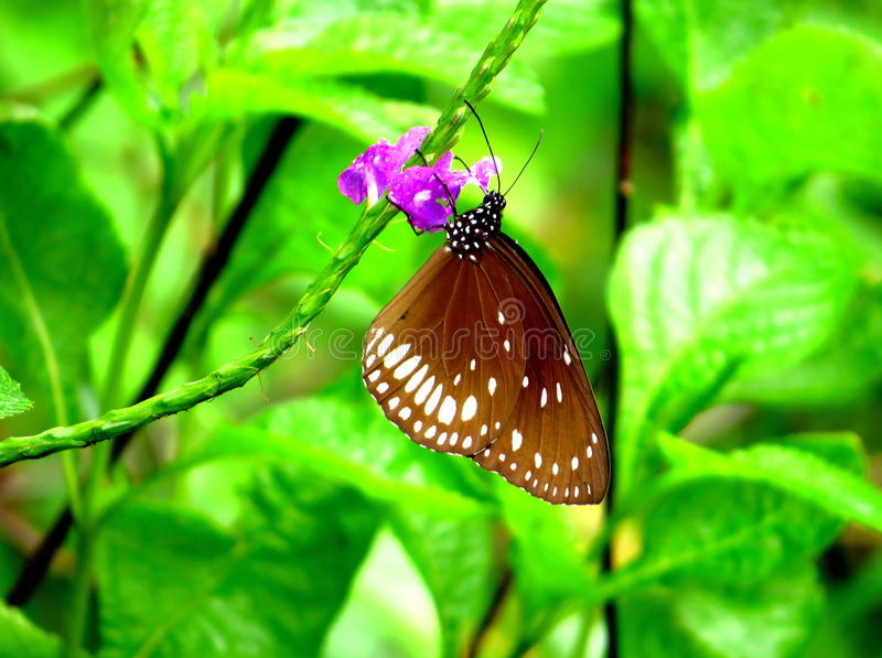 Common crow Butterfly. Sitting on beautiful flower for nector and sunlight in the morning royalty free stock images