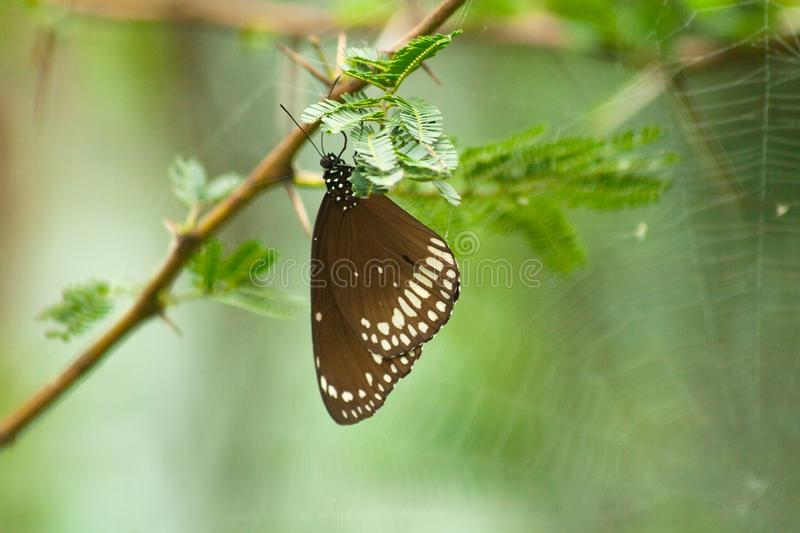 Common crow butterfly and spider web on a green tree in monsoons stock image