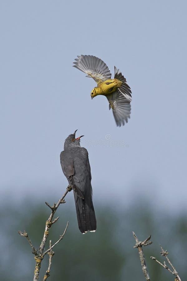 Common cuckoo Cuculus canorus stock images