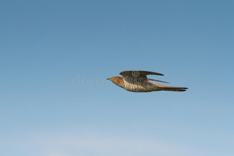 Common Cuckoo  / Cuculus Canorus Royalty Free Stock Photography
