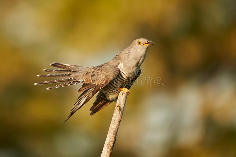 The common cuckoo Cuculus canorus in the in beautiful spring light. stock image