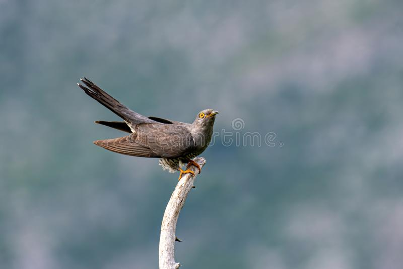 Common cuckoo Cuculus canorus sitting on a barbed branch stock photos