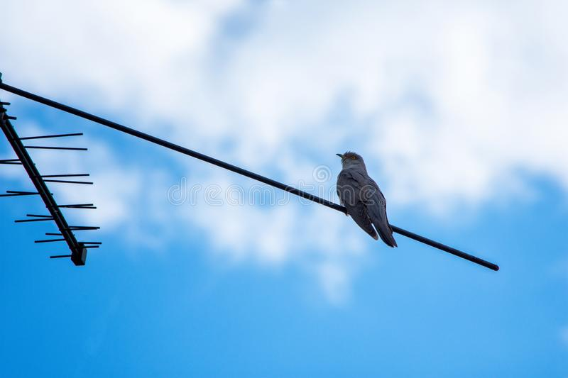 Common Cuckoo - Cuculus canorus. Common cuckoo sitting on a television antenna. Cuckoo close-up royalty free stock photography