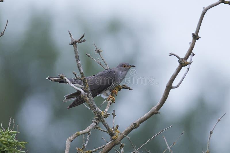 Common cuckoo Cuculus canorus stock photo