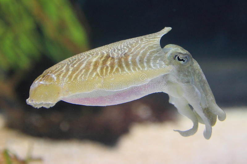 Common cuttlefish royalty free stock photos