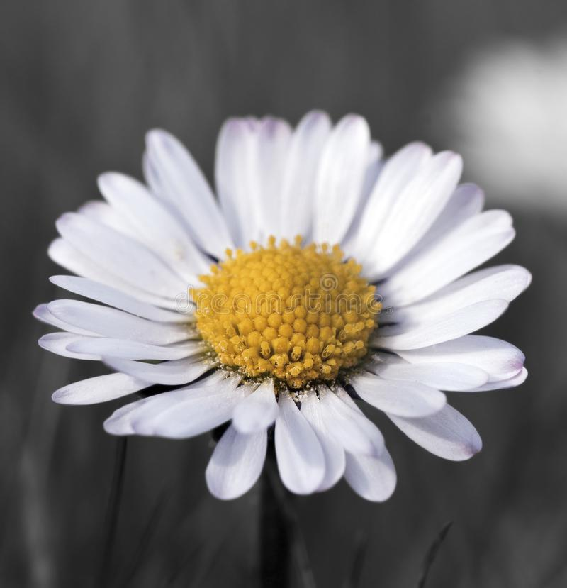 Common Daisy flower in bloom. Macro view of common daisy flower in bloom, dark background stock images