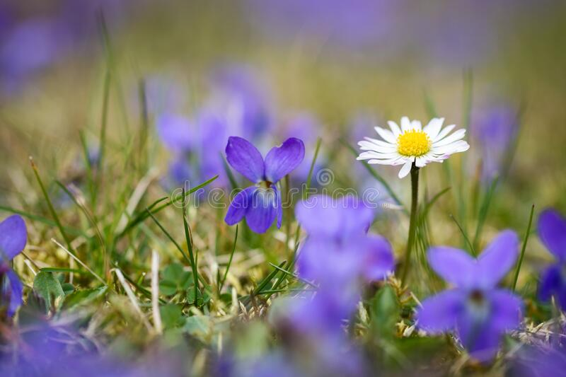 Common daisy and violet flowers stock images