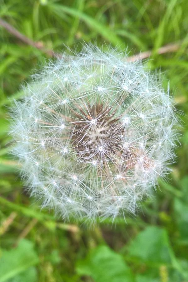 Common Dandelion. Common but cute. Star shaped dainty petals so easily blown away by a mild to moderate wind stock image