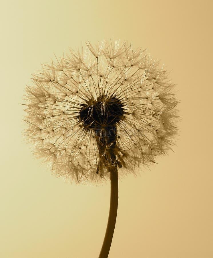 Common dandelion - Taraxacum stock photo