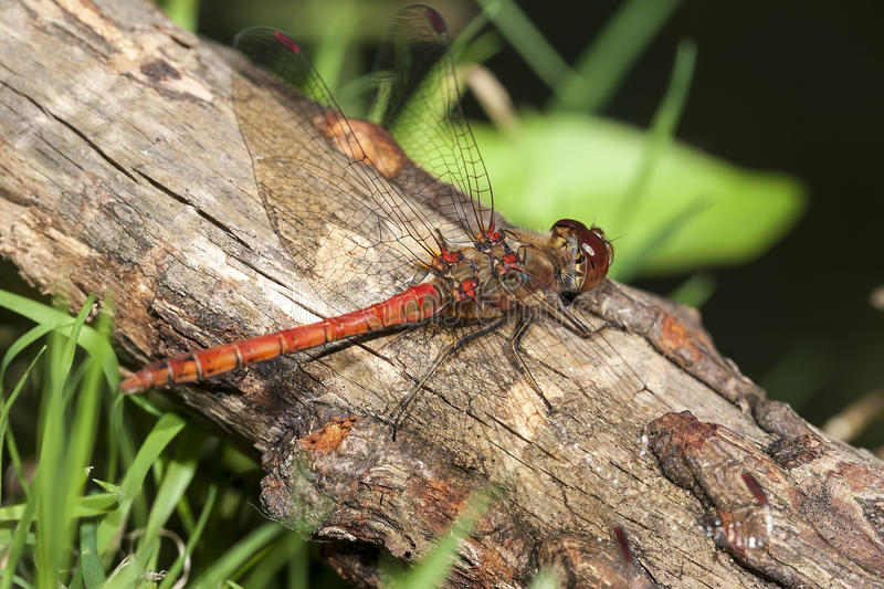 Download Common Darter Royalty Free Stock Photo - Image: 26509245