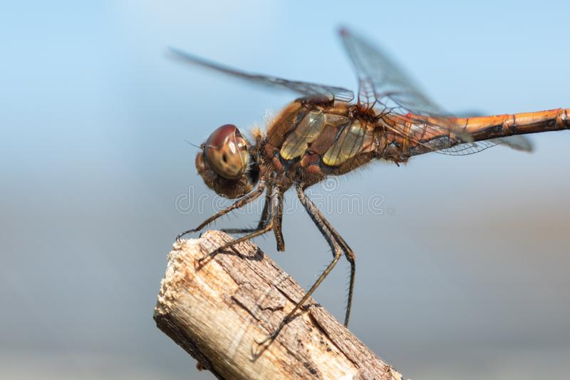 Common darter Sympetrum striolatum on a branch royalty free stock photography