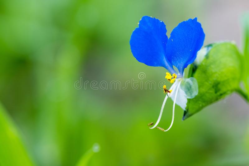 Common dayflower herb royalty free stock photo