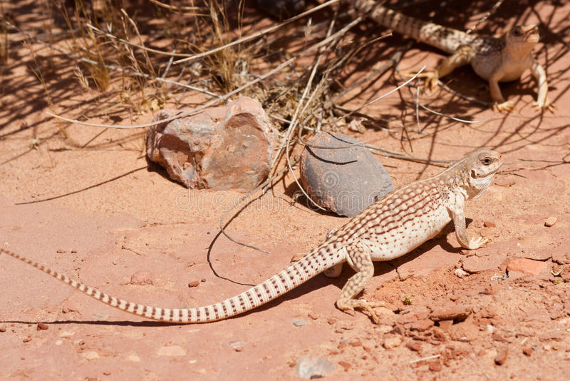 Common Desert Iguana royalty free stock photos