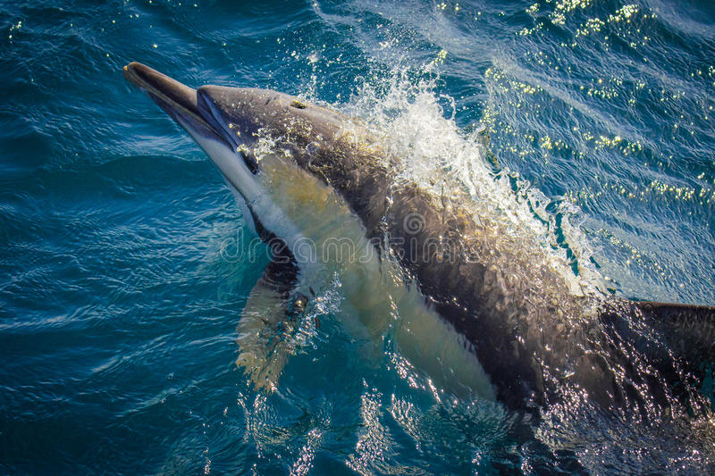 Common Dolphin Bow Riding Whale Watching Boat royalty free stock photos