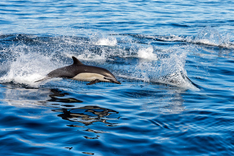 Common dolphin jumping outside the ocean. Common dolphin jumping outside the pacific ocean in California stock image