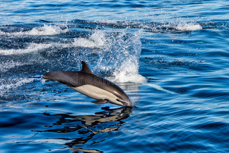 Common dolphin jumping outside the ocean. Common dolphin jumping outside the pacific ocean in California royalty free stock image