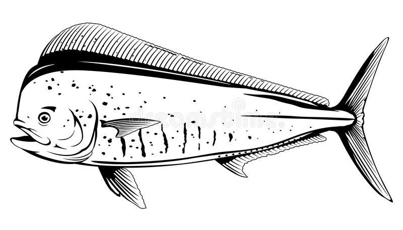 Common Dolphinfish Black and White Fish. Common dolphinfish in side view in black and white color, isolated royalty free illustration