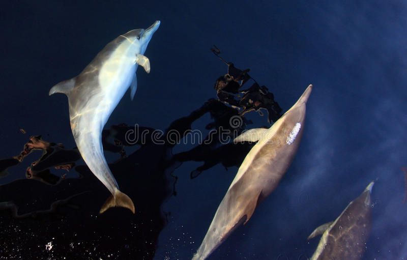 Common Dolphins Just Below Surface stock photo