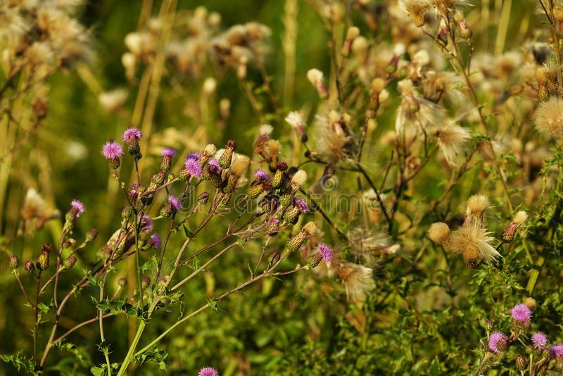 Common donkey thistle, Onopordum acanthium. In a meadow in August stock photos