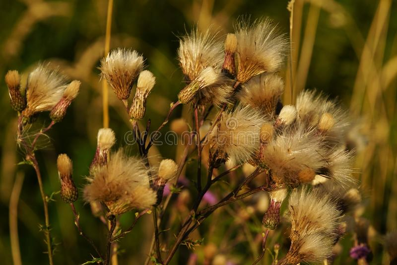 Common donkey thistle, Onopordum acanthium. In a meadow in August royalty free stock photography