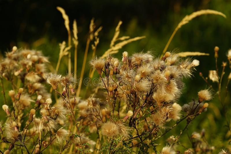 Common donkey thistle, Onopordum acanthium. In a meadow in August royalty free stock image