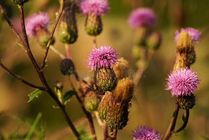 Common donkey thistle, Onopordum acanthium. In a meadow in August royalty free stock images