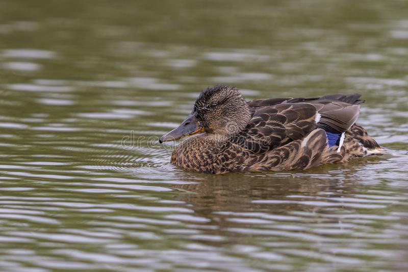 Common Duck swimming nice details royalty free stock photos