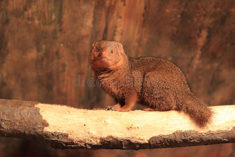 Download Common dwarf mongoose stock image. Image of sitting, common - 27747397