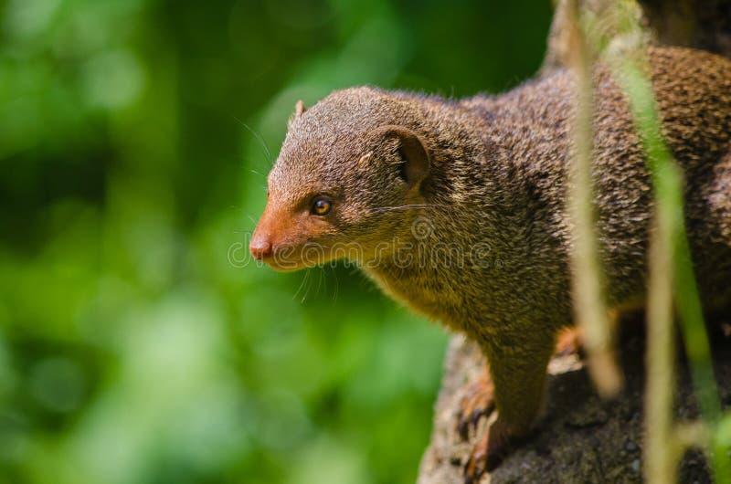 Common dwarf mongoose royalty free stock photos