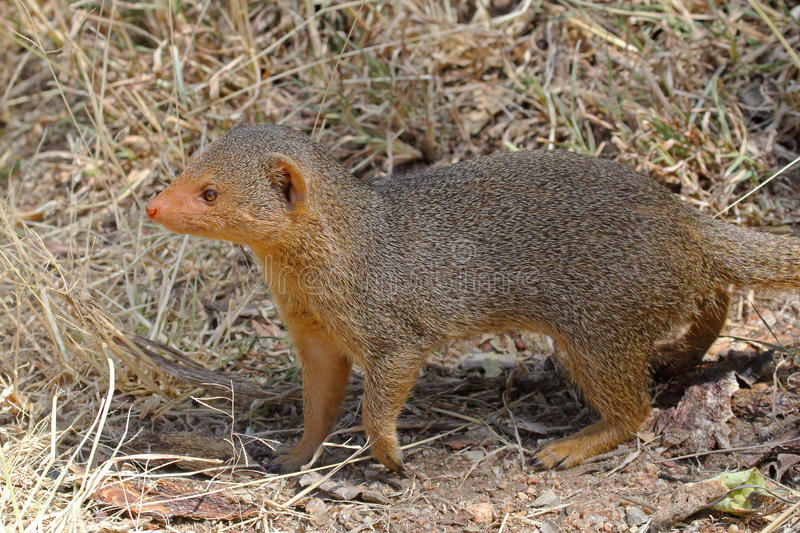 Download A common dwarf mongoose stock photo. Image of african - 34367430