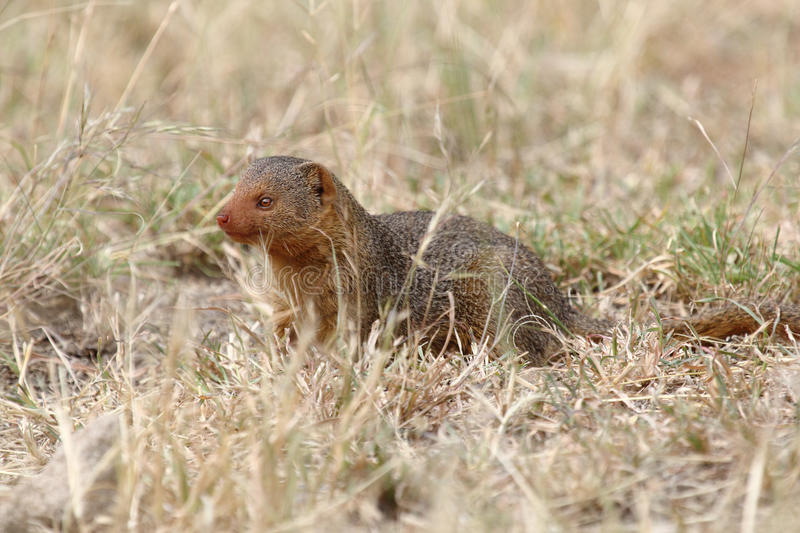 A Common Dwarf Mongoose Royalty Free Stock Photo