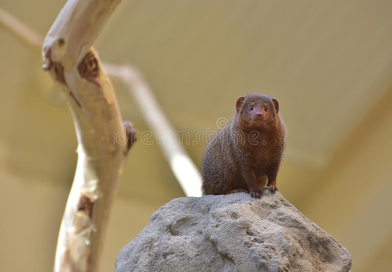 Download The common dwarf mongoose stock image. Image of watch - 103090157