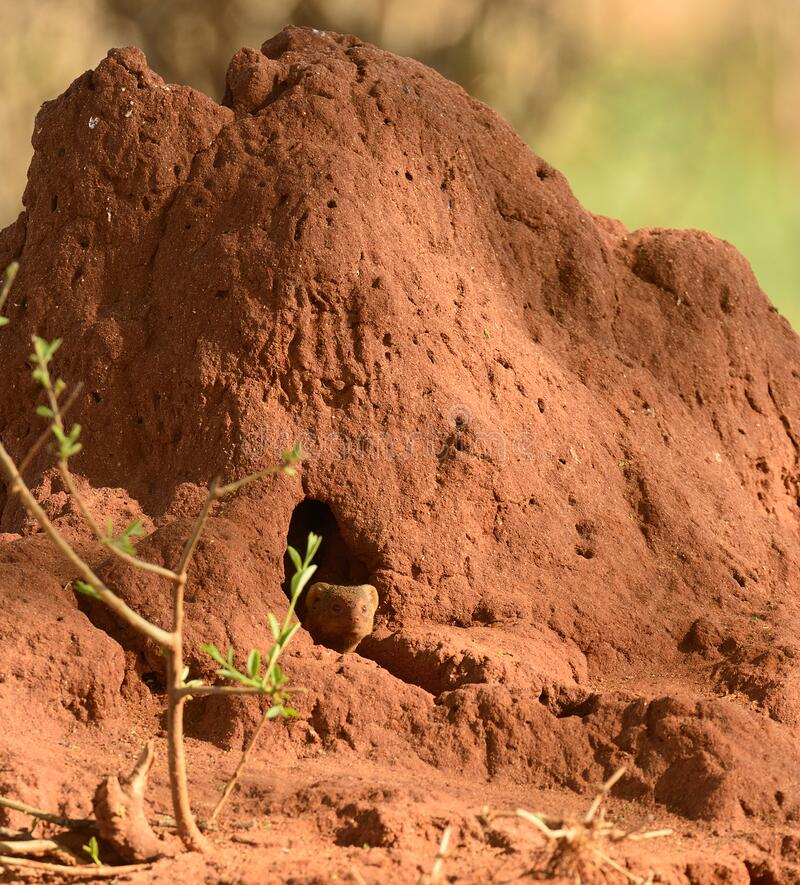 Common Dwarf Mongoose looking out of a termite mound stock image